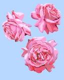 Tres imágenes aisladas del flor de las flores de las rosas Imagen de archivo