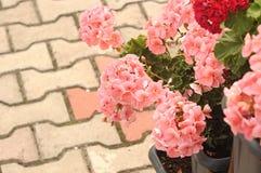 Tres Ivy Geraniums Fotografía de archivo libre de regalías