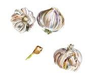Tres jefes de ajo y de rebanada, bosquejo de la acuarela, aislado ilustración del vector