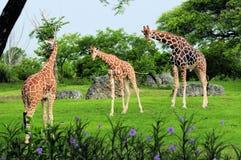 Tres jirafas Fotos de archivo libres de regalías