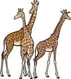 Tres jirafas stock de ilustración