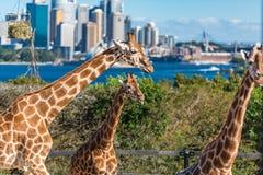 Tres jirafas contra Sydney Harbour en el fondo Imágenes de archivo libres de regalías