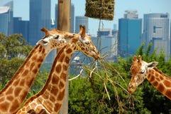Tres jirafas en parque zoológico Fotografía de archivo libre de regalías