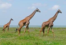 Tres jirafas en sabana Imagen de archivo libre de regalías