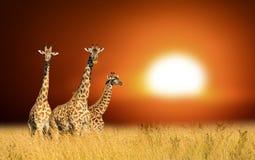 Tres jirafas en una puesta del sol del fondo en el parque nacional de Kenia imagen de archivo
