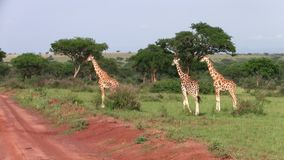 Tres jirafas que caminan adentro alrededor en Uganda metrajes