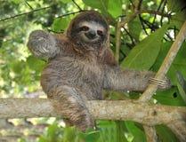 Tres juguetones tocan con la punta del pie la pereza que se sienta en el árbol, Costa Rica Imágenes de archivo libres de regalías