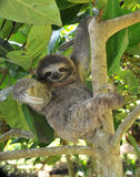 Tres juguetones tocan con la punta del pie la pereza que se sienta en el árbol, Costa Rica Fotos de archivo