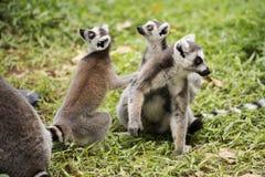 Tres lémures anillo-atados Imagen de archivo