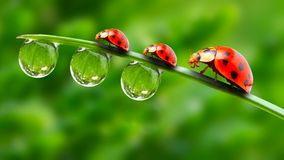 Tres ladybugs. Imagenes de archivo