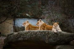 Tres leonas africanas de color rojo descansan sobre una piedra en un parque zoológico de la ciudad de Basilea en Suiza en inviern Foto de archivo