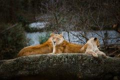Tres leonas africanas de color rojo descansan sobre una piedra en un parque zoológico de la ciudad de Basilea en Suiza en inviern Imagen de archivo libre de regalías