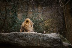 Tres leonas africanas de color rojo descansan sobre una piedra en un parque zoológico de la ciudad de Basilea en Suiza en inviern Imágenes de archivo libres de regalías