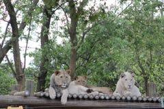 Tres leones en el parque zoológico Imagenes de archivo