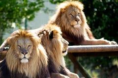 Tres leones masculinos Fotos de archivo libres de regalías