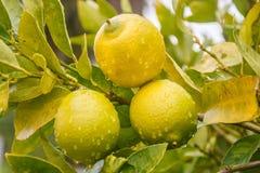 Tres limones Imagen de archivo