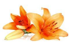 Tres lirios anaranjados sobre el fondo blanco Imagen de archivo libre de regalías