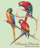 Tres loros brillantes del Macaw en una rama (dibujo del vector de la acuarela) fotografía de archivo