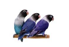 Tres lovebirds enmascarados en blanco Foto de archivo