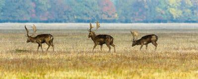 Tres machos de los ciervos en barbecho Foto de archivo