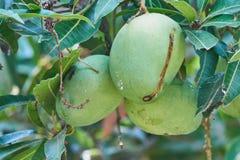 Tres mangos verdes que cuelgan de un árbol Imagen de archivo libre de regalías