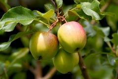 Tres manzanas Imágenes de archivo libres de regalías