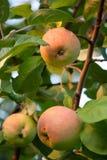 Tres manzanas en un árbol Imagenes de archivo