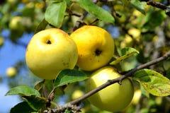 Tres manzanas en una rama Fotografía de archivo libre de regalías