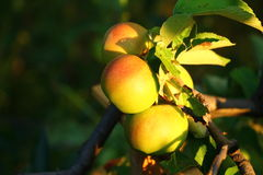 Tres manzanas frescas en una rama Imagen de archivo
