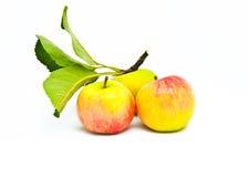 Tres manzanas maduras hermosas con las hojas Fotografía de archivo libre de regalías