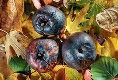 Tres manzanas putrefactas en las hojas de otoño vivas Fotos de archivo libres de regalías