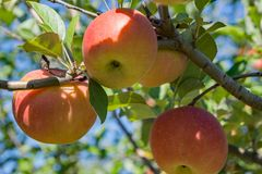 Tres manzanas rojas en un árbol Foto de archivo