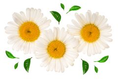 Tres manzanilla o margaritas con las hojas aisladas en el fondo blanco Visión superior Endecha plana Fotografía de archivo libre de regalías