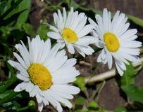 Tres margaritas blancas Foto de archivo