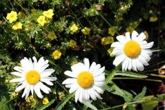 Tres margaritas en pequeñas flores amarillas Foto de archivo