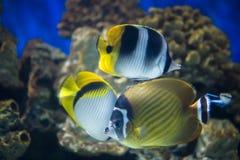 Tres mariposa-pescados fotografía de archivo