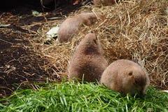 Tres marmotas Imagen de archivo libre de regalías
