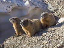 Tres marmotas Imágenes de archivo libres de regalías
