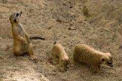 Tres meerkats Fotografía de archivo