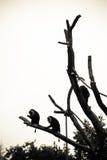 Tres monos que se sientan arriba para arriba en un árbol Fotos de archivo libres de regalías
