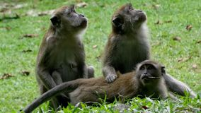 Tres monos se sientan en la hierba y miran en diversos lados fotografía de archivo