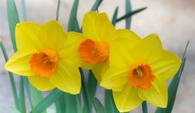 Tres narcisos amarillo-naranja Imágenes de archivo libres de regalías