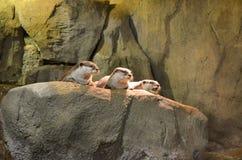 Tres nutrias de mar marrones se sientan, toman el sol en la piedra y miran lejos fotografía de archivo