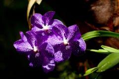 Tres orquídeas violetas en invernadero Imagen de archivo