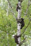 Tres oso negro Cubs que sube un árbol Fotos de archivo