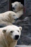 Tres osos polares Fotografía de archivo libre de regalías