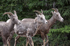 Tres ovejas de Bighorn imagen de archivo