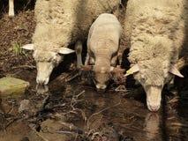 Tres ovejas en el agua Imágenes de archivo libres de regalías