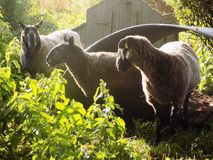 Tres ovejas en el pueblo @ Crookham, Northumberland, Inglaterra del país Fotos de archivo libres de regalías