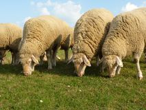 Tres ovejas en pasto Fotos de archivo libres de regalías